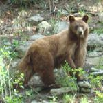 philmont bear
